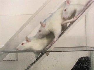 Les rats plongeurs – expériences de différentiation sociale