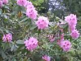Les Investizons: Rhododendrons