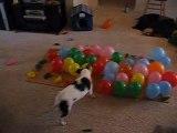 Un chien éclate 74 ballons en 57 sec / Blog-videos.org