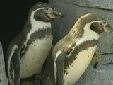 Gay penguins adopt chick